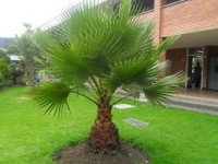 palmera washingtonia